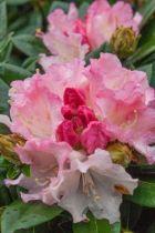 Rhododendron* yakushimanum \'Dreamland\'