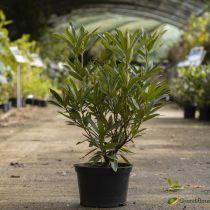 Rhododendron hybride \'fenbeyum\'