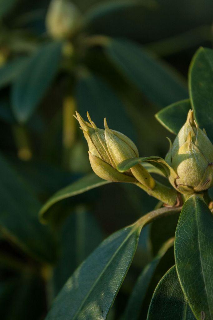 Rhododendron x \' Catawbiense Grandiflorum \'
