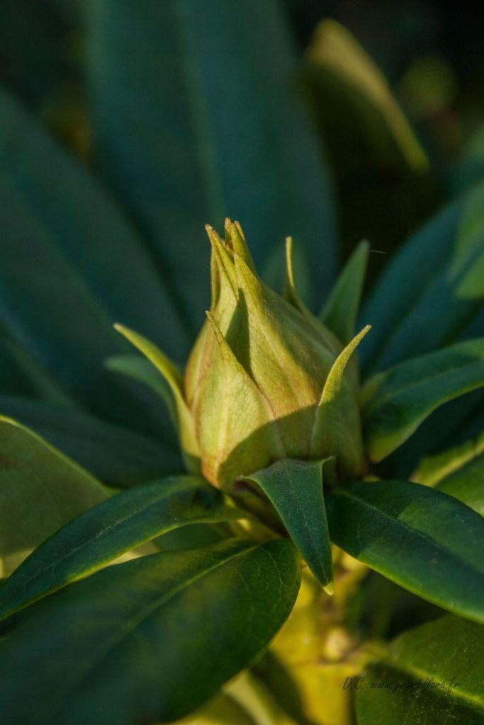 Rhododendron x \' Cosmopolitan \'