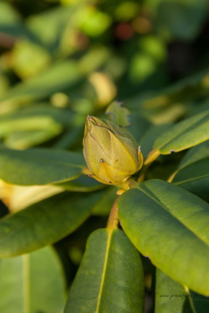 Rhododendron x \' Germania \'