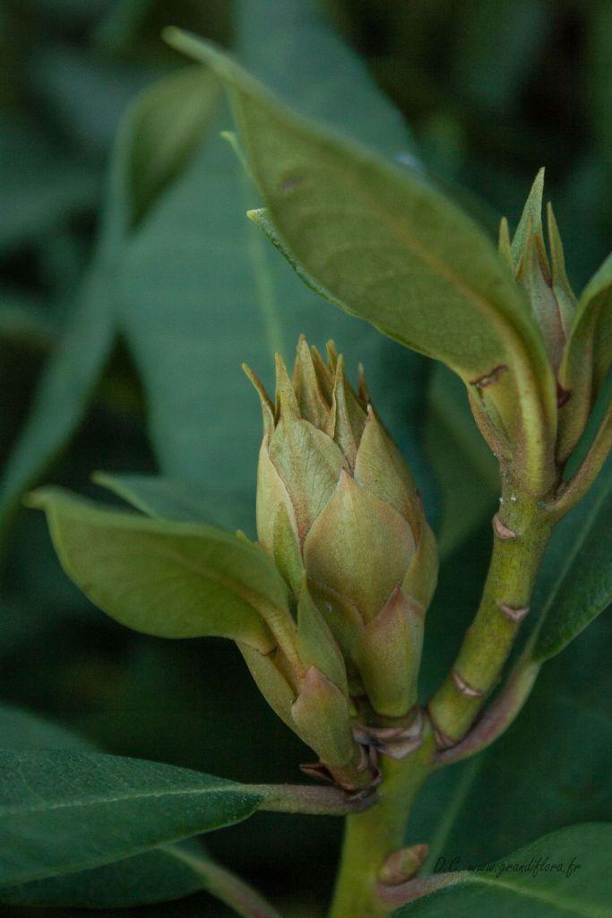 Rhododendron x \' Lord Robert \', arbuste persistant au feuillage vert et à floraison rouge au printemps.