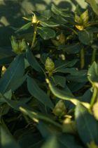 Rhododendron x \' Markeeta\'s Prize \'