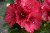 Rhododendron x \' Red Jack \', arbuste persistant vert à fleurs rouges au printemps.