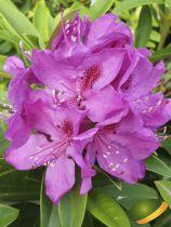Rhododendron x \'Anna Krusche\' ¤