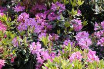 Rhododendron x \'Catabiensis Grandiflora\' ¤