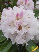 Rhododendron x \'Christmas Cheer\' ¤
