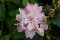 Rhododendron x \'Docteur Albert Schweitzer\'