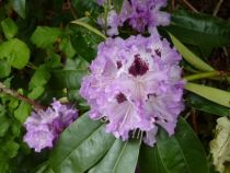 Rhododendron catawbiense grandiflorum, arbuste persistant vert à fleurs lilas soutenu marqué de pourpre et jaune au printemps.