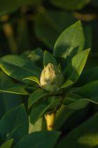 Rhododendron x \'  Docteur Albert Schweitzer \' à floraison rose à macule pourpre au printemps
