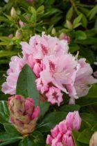 Rhododendron Docteur Albert Schweitzer, arbuste persistant vert à fleurs rose à macules pourpres au printemps.