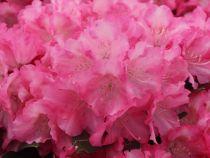 Rhododendron yakushimanum \'Marlis\'