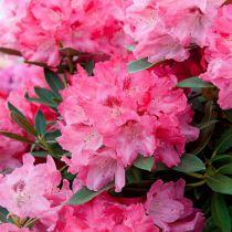 Rhododendron yakushimanum \'Sneezy\'