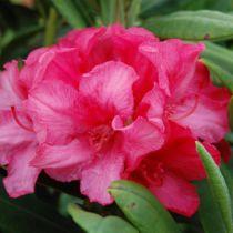 Rhododendron yakushimanum \'Sweet Sue\'