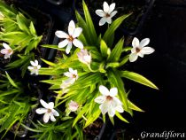 Rhodohypoxis \'White Star\'
