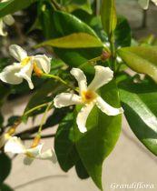 Rhyncospermum asiaticum \'Christabel Bielenberg\'