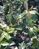 Rhyncospermum jasminoides \'Christabel Bielenberg\'