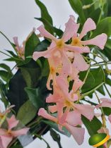 Rhyncospermum jasminoides \'Rose\'