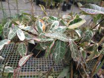Rhyncospermum jasminoides \'Variegata\'