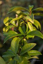 Rhyncospernum jasminoides