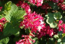 Ribes sanguineum \'Pulborough Scarlet\'