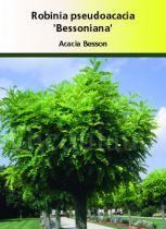 Robinia pseudoacacia \' Bessoniana \'