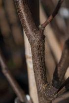 Robinia pseudoacacia \' Casque Rouge \'