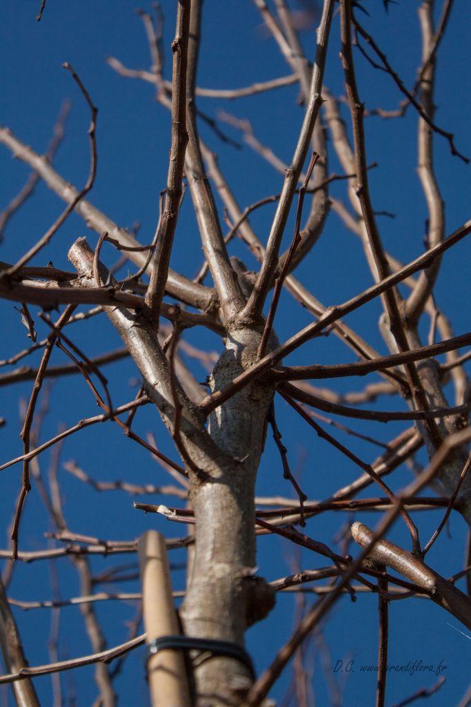 Robinia pseudoacacia \' Frisia \'