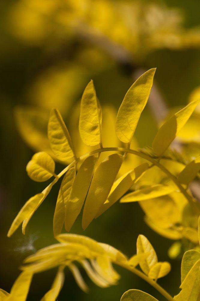 IMG_5734, arbre au feuillage jaune vert et au fleurs blanche au printemps.