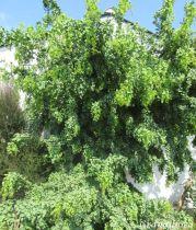 Robinia pseudoacacia \'Twisty Baby® Lace Lady\'