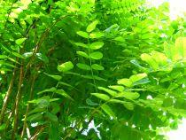 Robinia pseudoacacia \'Umbraculifera\'