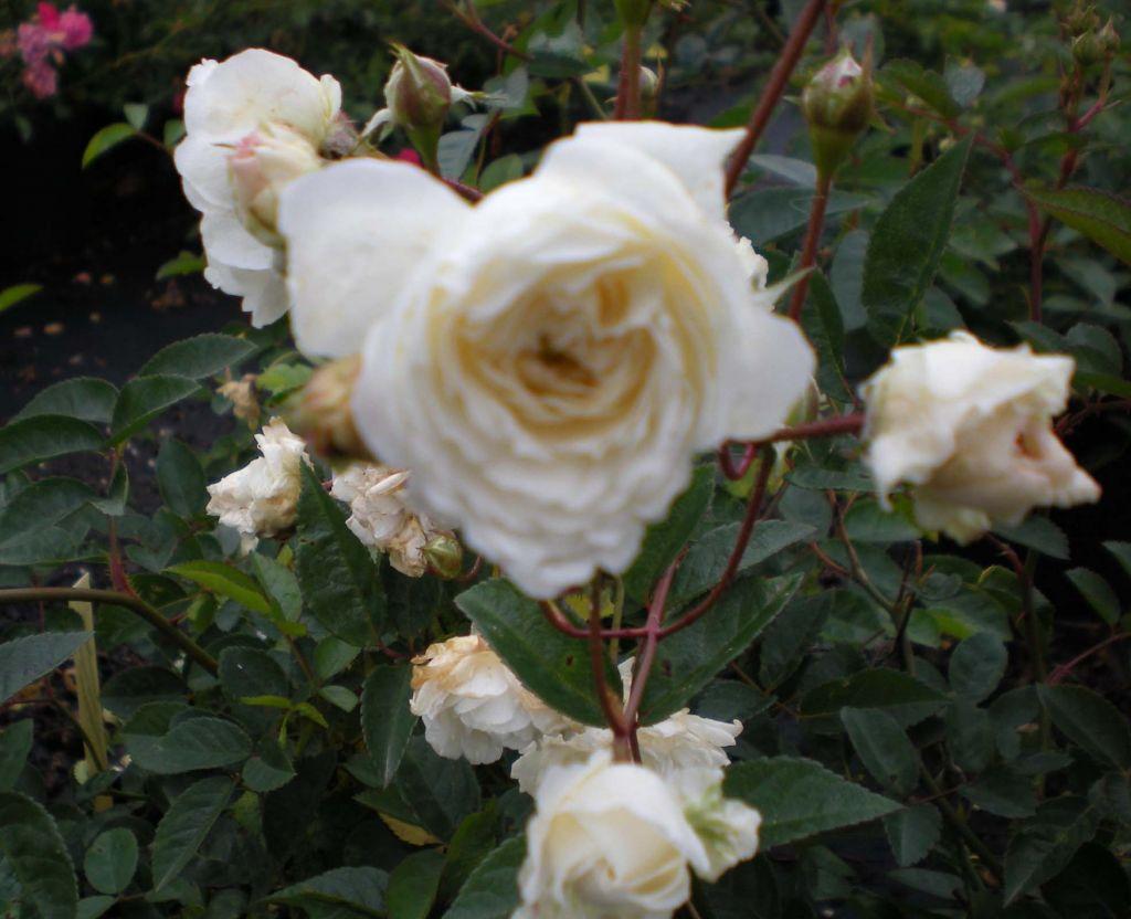 Rosa \' Little White Pet \' ou rosier paysager à floraison blanche de juin aux gelées pour massif ou bordure de jardin au soleil.