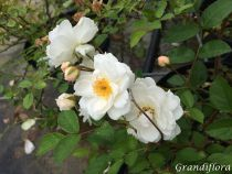 Rosa \'Little White Pet\'