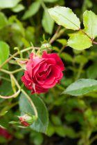 Rosa \'Sparkling\'