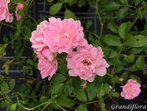 Rosa \'The fairy\'
