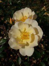 Rosa rekord \'Amber Sun\'