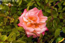 Rosa rekord \'Cubana\'