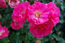 Rosa rekord \'Pink Emely\'