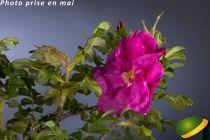 Rosa rugosa \'Moje Hammarberg\'