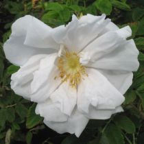 Rosa rugosa \'White Perfection\'