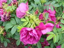 Rosa rugosa Exception
