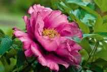 Rosa rugosa Pivoine