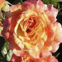 Rosier \'Alphonse Daudet\' ®meirouve, buisson caduc au feuillage vert foncé et aux fleurs jaune ocré de rose crevette au printemps.