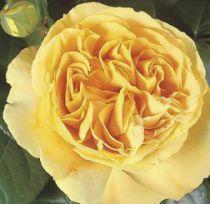 Rosier \'Bataclan\' ®tan94488, buisson caduc au feuillage vert foncé et aux fleurs jaune au printemps.