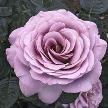 Rosier \'Blue Girl\' ®sautari, buisson caduc au feuillage vert foncé et aux fleurs mauve au printemps.