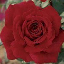 Rosier \'Botero\' ®meiafone, buisson caduc au feuillage vert foncé et aux fleurs rouge fraise au printemps.