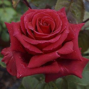 Rosier \'Hacienda\' ®oradal, buisson caduc au feuillage vert foncé et aux fleurs rouge foncé au printemps.