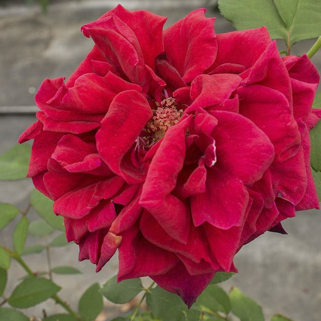 Rosier \'Joséphine Bruce\', buisson caduc au feuillage vert foncé et aux fleurs rouge foncé au printemps.