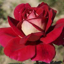 Rosier \'Kronenbourg\' ®macbo, buisson caduc au feuillage vert foncé et aux fleurs  rouge et jaune au printemps.