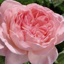 Rosier \'Liv Tyler\' ®meibacus, buisson caduc à feuilles vert foncé et aux fleurs rose foncé au printemps.